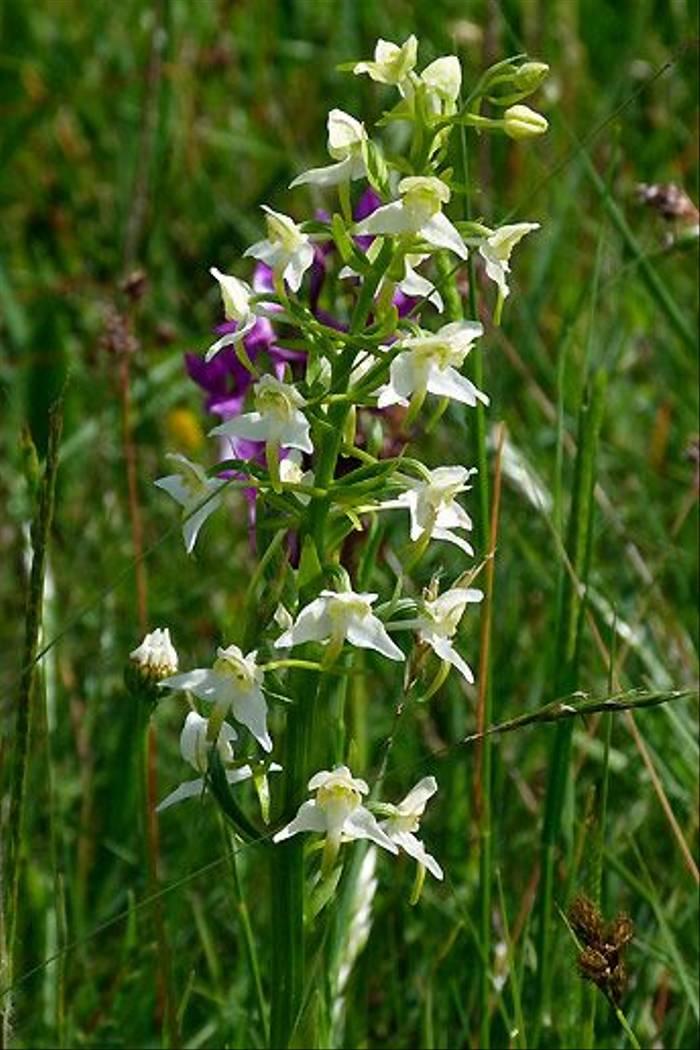 Greater Butterfly Orchid (Tom McJannet)