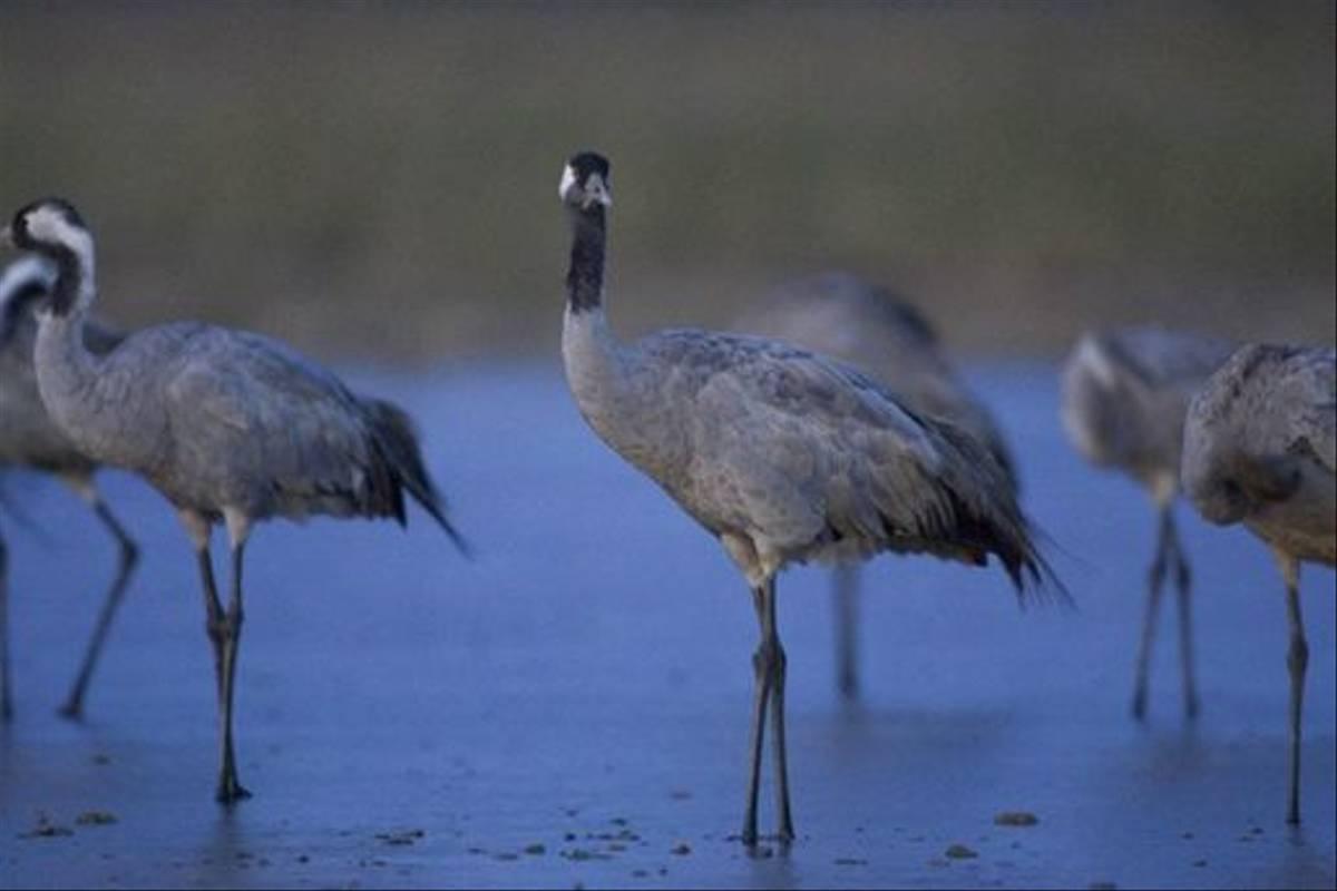 Common Cranes (Mati Kose)
