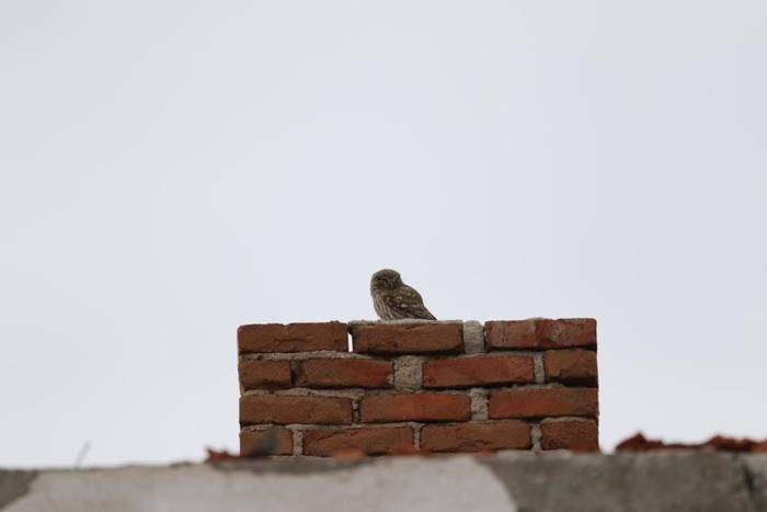 Little Owl (Gerald Broddelez)