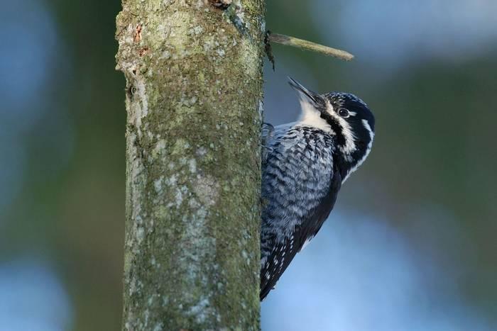 Three-toed Woodpecker shutterstock_477557677.jpg