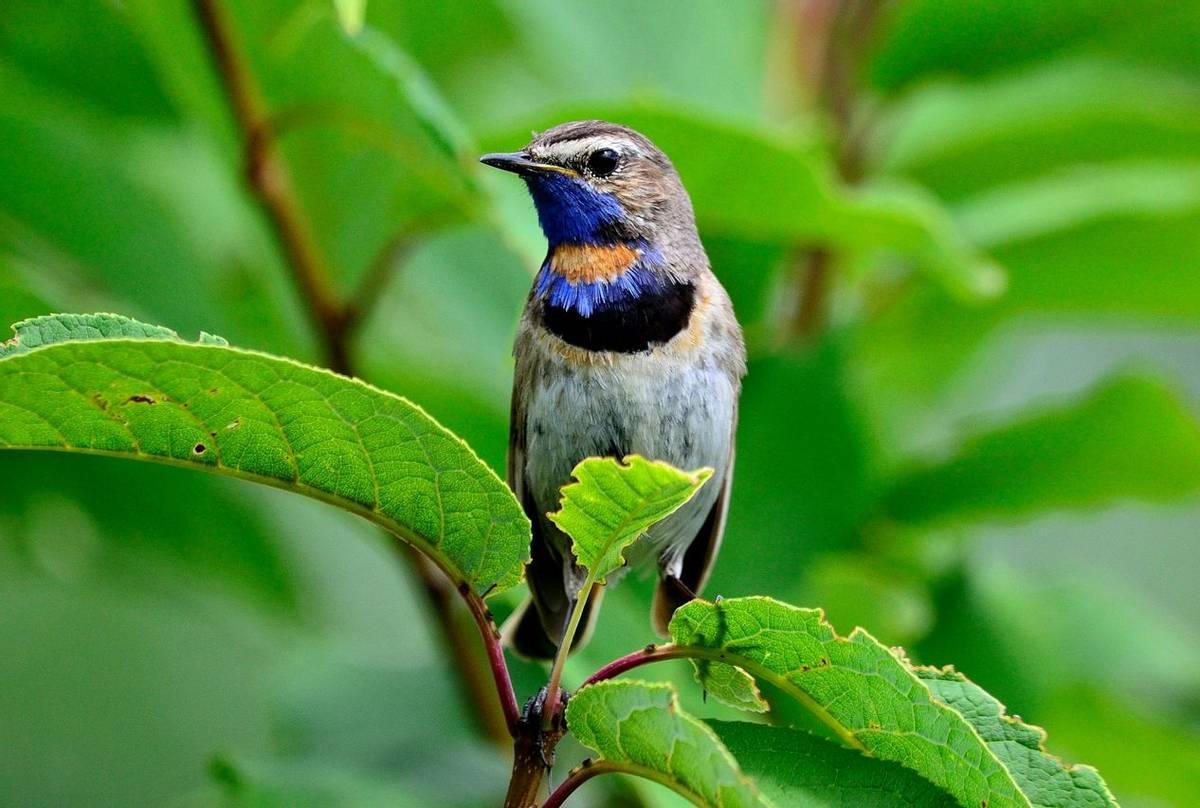 Bluethroat Shutterstock 1315324802