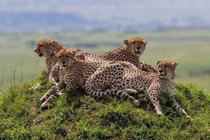 Cheetahs (Iain McFadyen).jpg