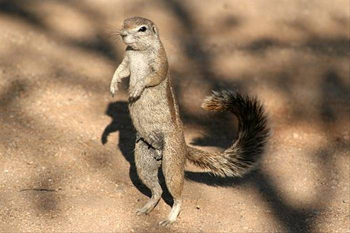 Ground Squirrel (Bret Charman)