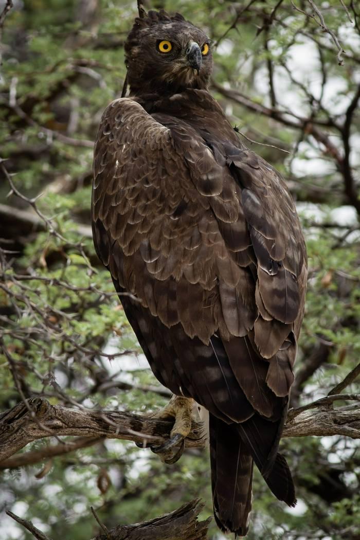 Brown Snake Eagle Shutterstock 258718028