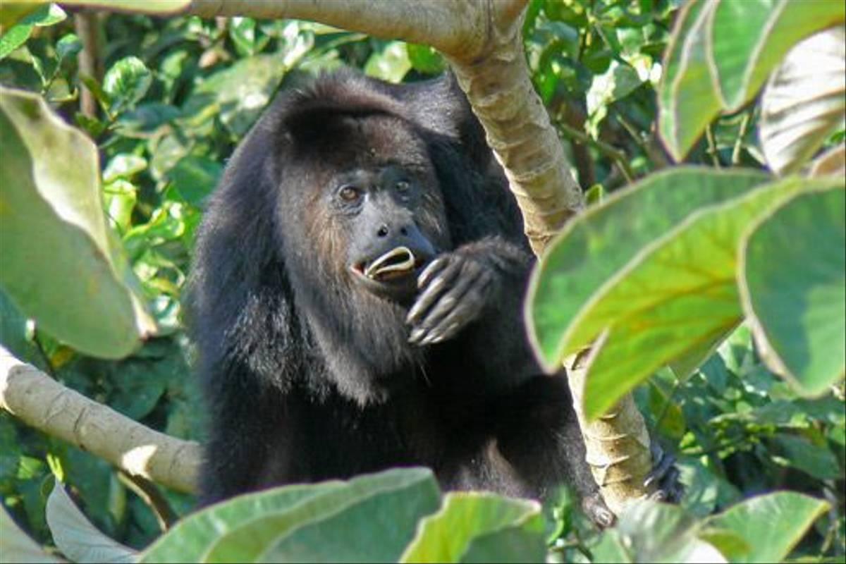 Yucatan Black Howler Monkey (Peter Dunn)
