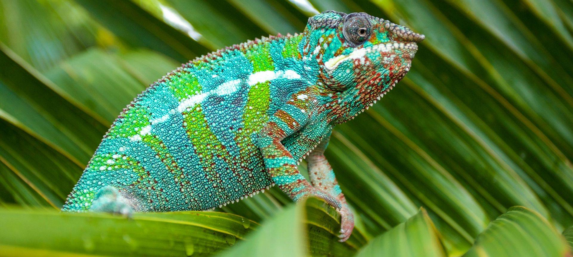 Panther Chameleon, Shutterstock 562425904