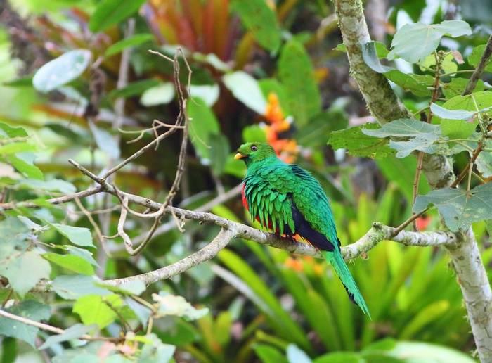 Golden-headed Quetzal, Peru  shutterstock_1220583631.jpg
