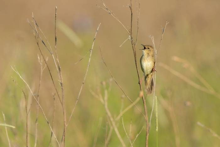 Common grasshopper warbler Locustella naevia, adult, perched in meadow & displaying, Tiszaalpár, Hungary, May