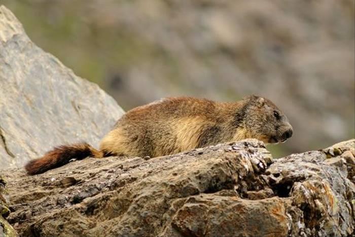 Alpine Marmot <i>Marmota marmota</i> (David Morris)