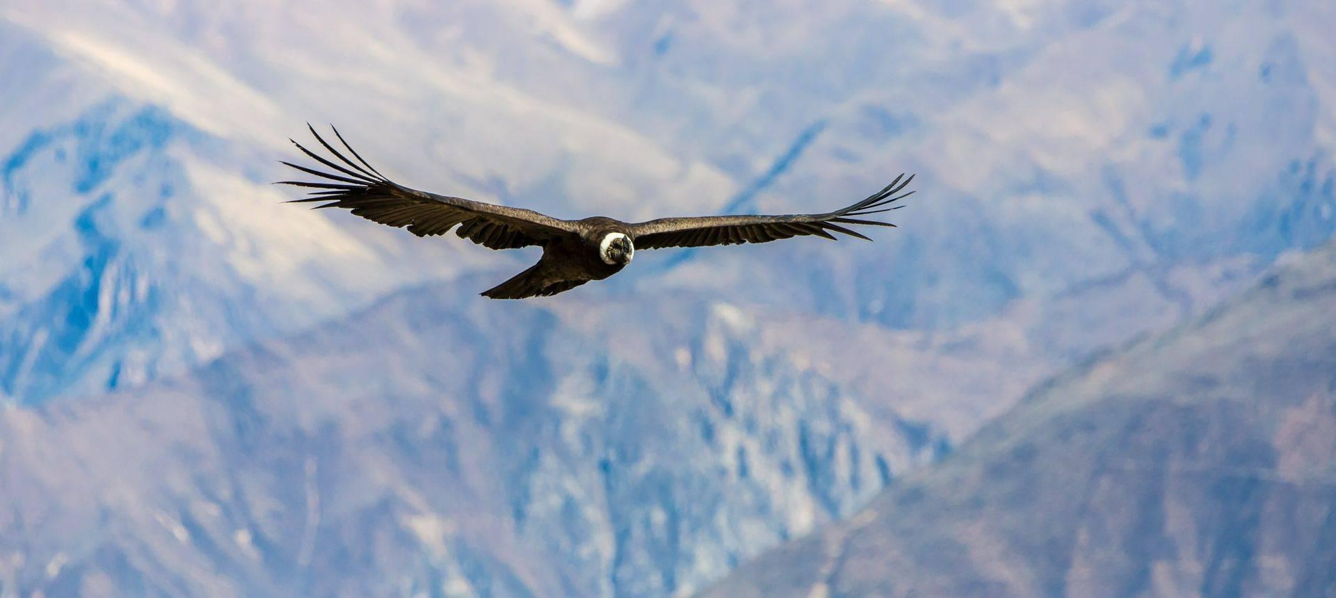 Andean Condor, Colca Canyon, Peru Shutterstock 167236631