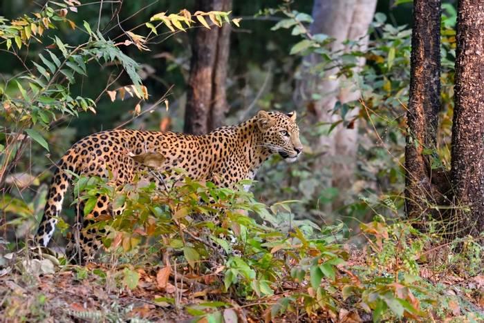 Leopard, India shutterstock_389706001.jpg