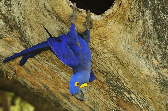 Hyacinth Macaw, Brazil Shutterstock 1115829959