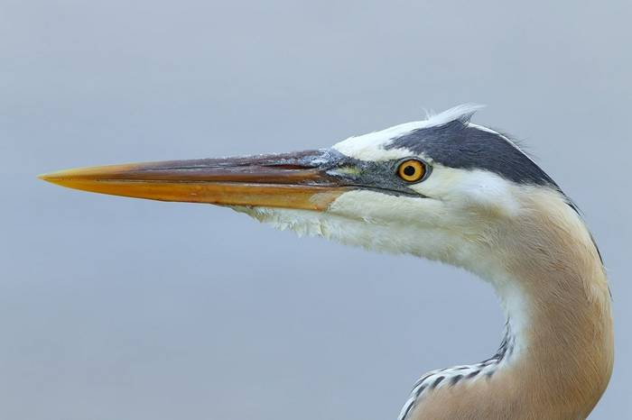 Great Blue Heron (Kevin Elsby)