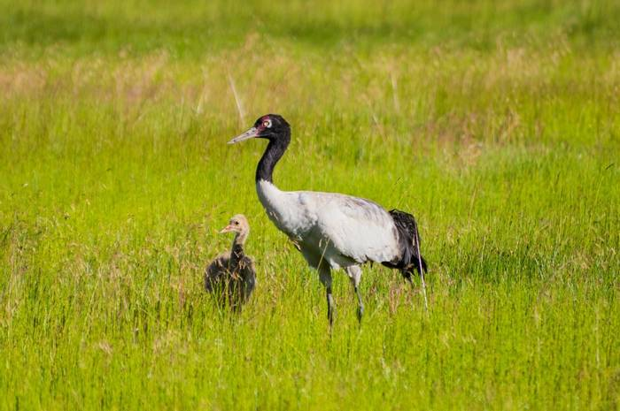 Black Necked Cranes, China Shutterstock 1163077738