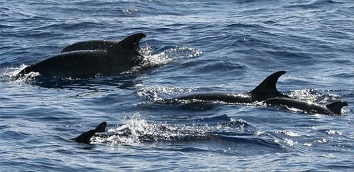 Bottlnose Dolphin (Tom Brereton)