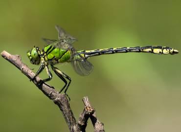 Czech Republic - Dragonflies of North Bohemia