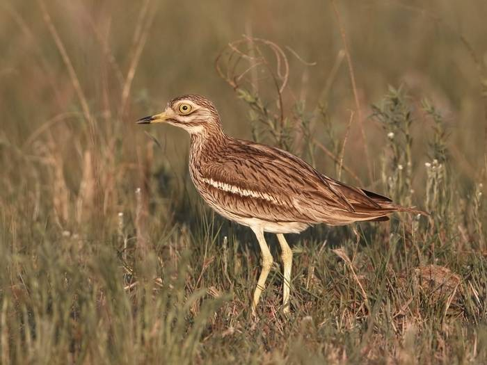 Stone Curlew (Kevin Elsby)
