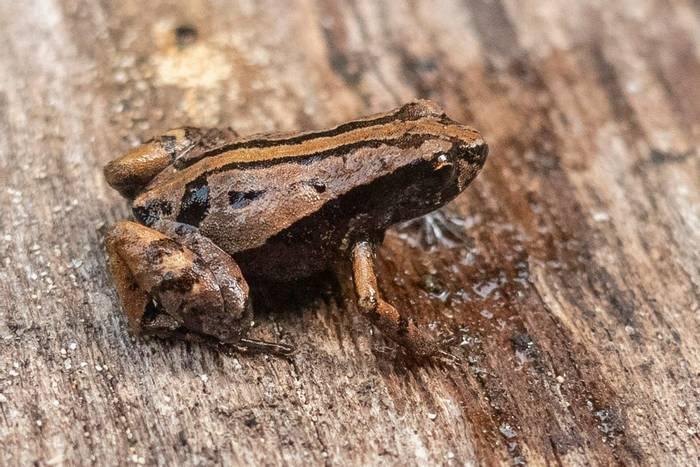 Naturetrek Leaf Frog (Noblella naturetrekii) - Lou Jost