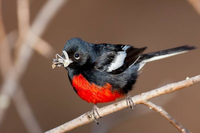 Painted Redstart, Arizona, USA Shutterstock 1213224031