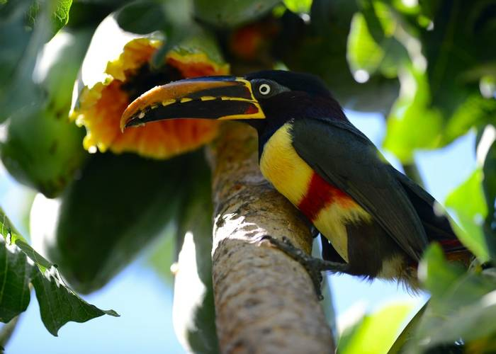 Chestnut Eared Aracari (Stephen Woodham)