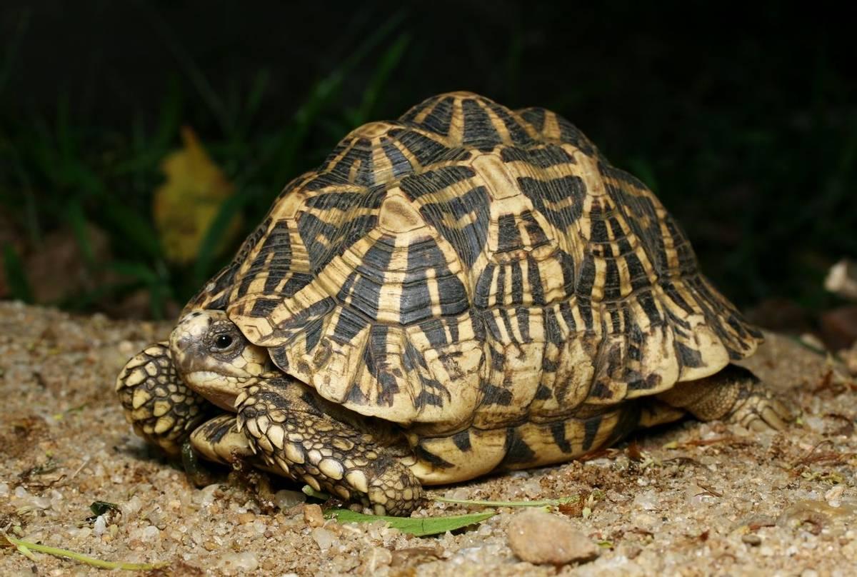 Indian Star Tortoise (Geochelone elegans), Sri Lanka