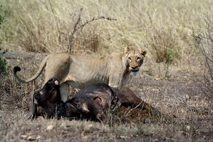 Lioness with Buffalo kill (Leon Marais)