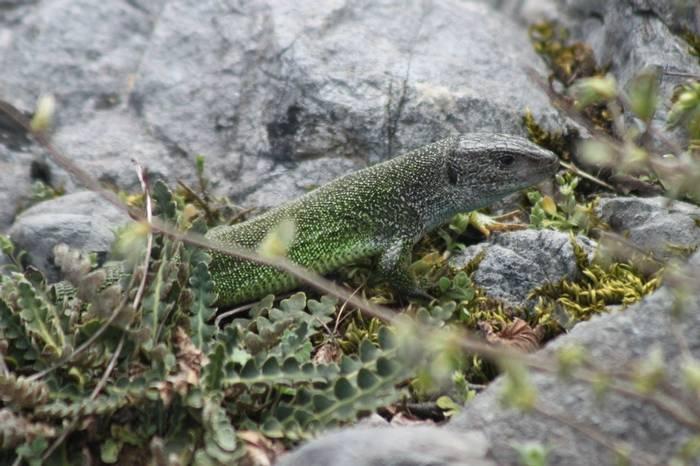 Green Lizard (Tom Mabbett)
