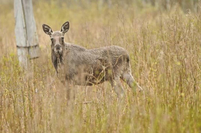 Elk (David Morris)