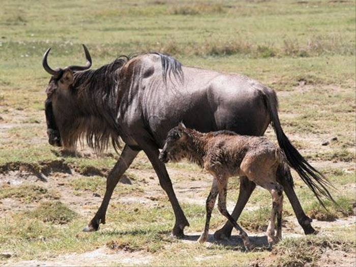 Blue Wildebeest and young (Barbara Sumner)