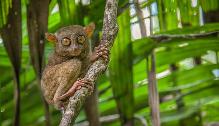 Un tarsier dans la jungle des Philippines