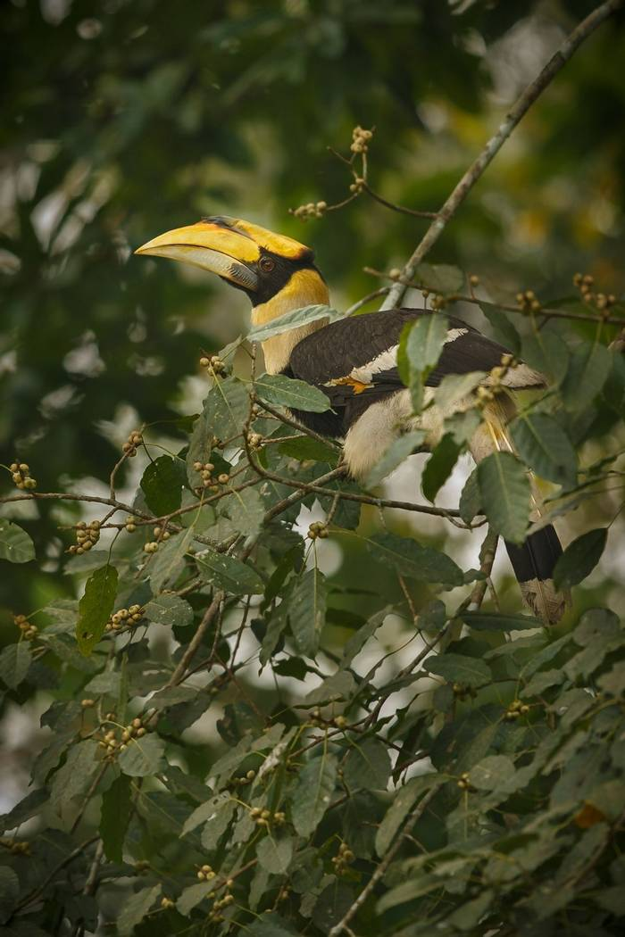 Great Hornbill, Kaziranga National Park shutterstock_388997308.jpg