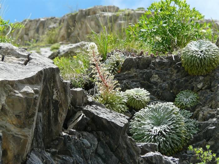 Pyrenean Saxifrage.jpg