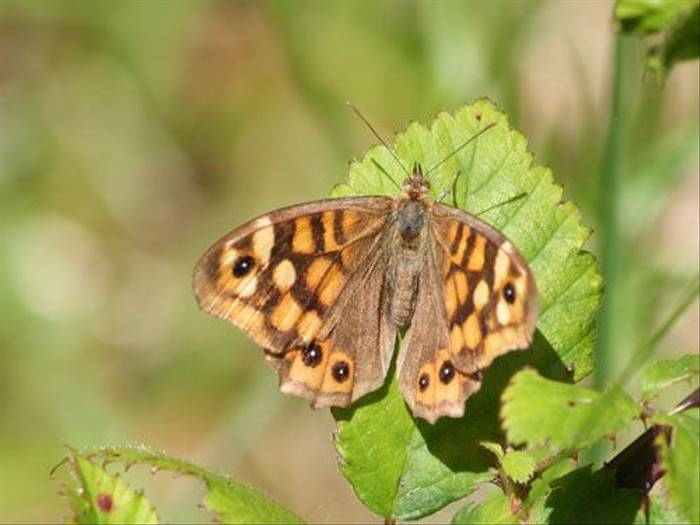 Speckled Wood (Tony Mainwood)
