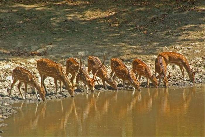 Chital, or Spotted Deer