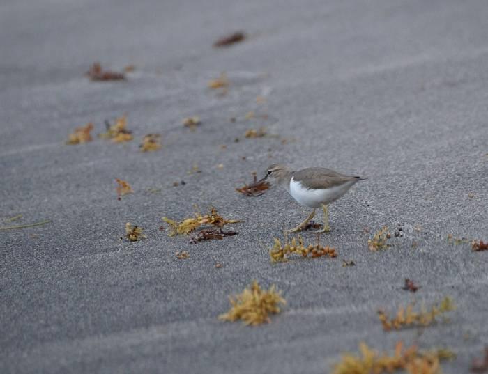 Spotted Sandpiper amongst Sargasso weed (Ed Drewitt).jpeg