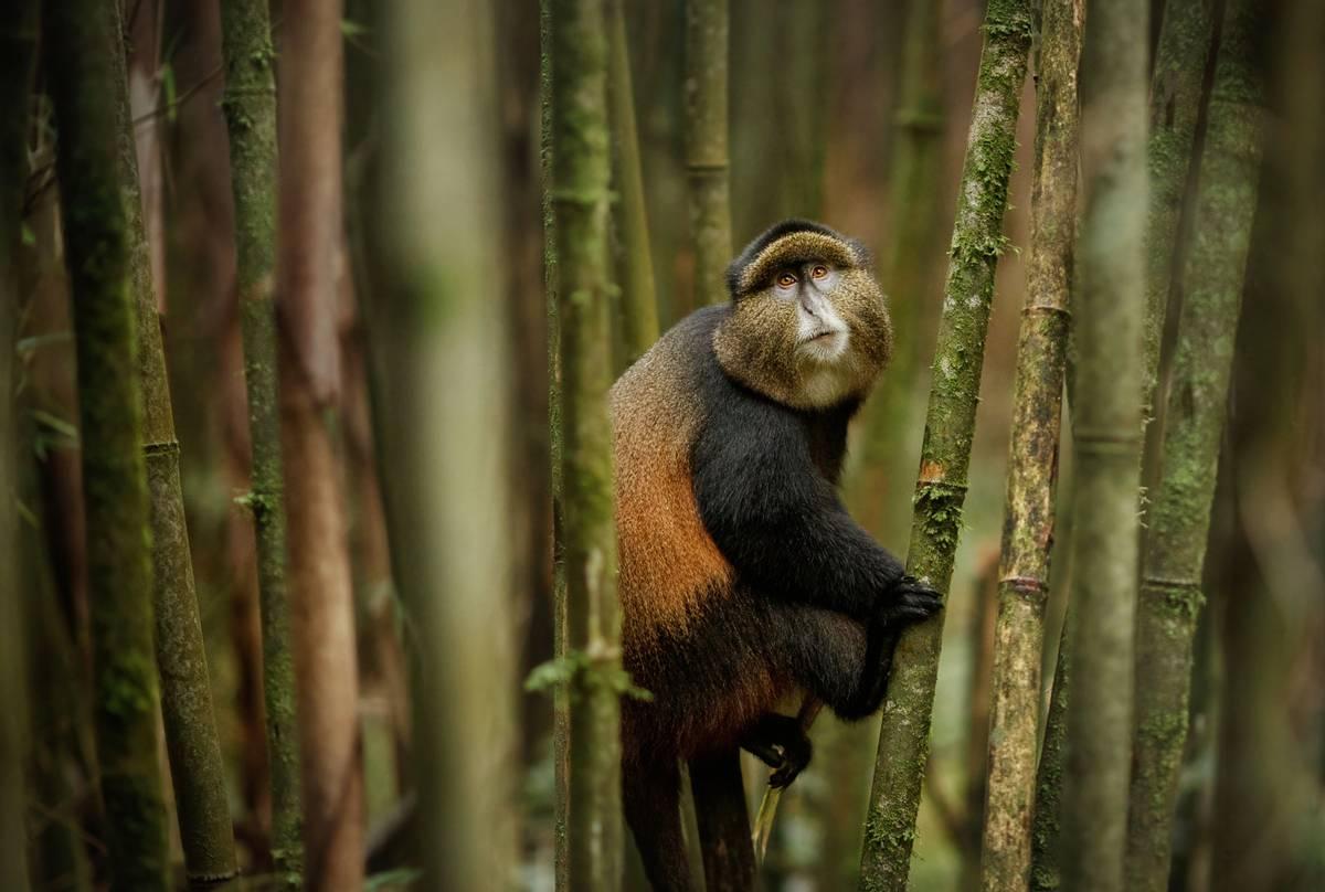 Golden Monkey, Rwanda shutterstock_1228628866.jpg