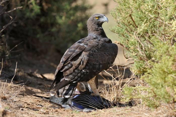Martial Eagle, Kenya shutterstock_1311854294.jpg