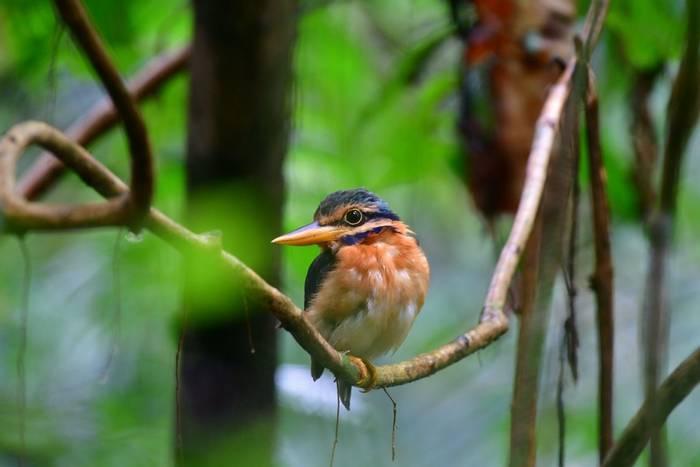 Rufous-collared Kingfisher, Burma shutterstock_1118898860.jpg