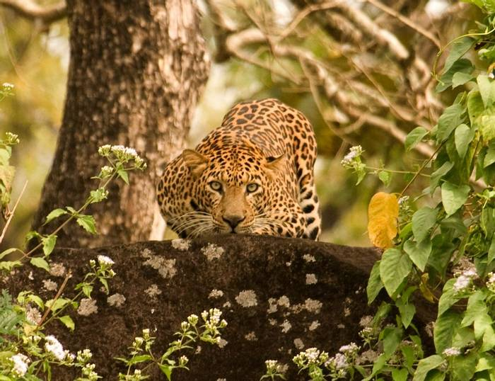 Indian Leopard (copyright Dilan Mandanna)