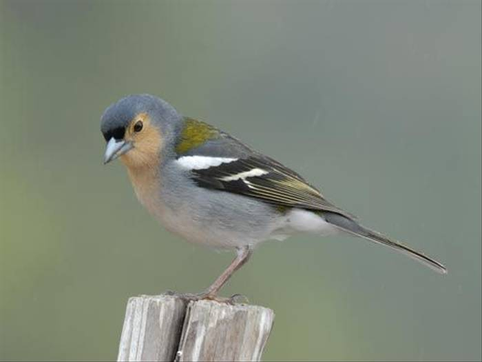 Madeiran Chaffinch  (James Lees)