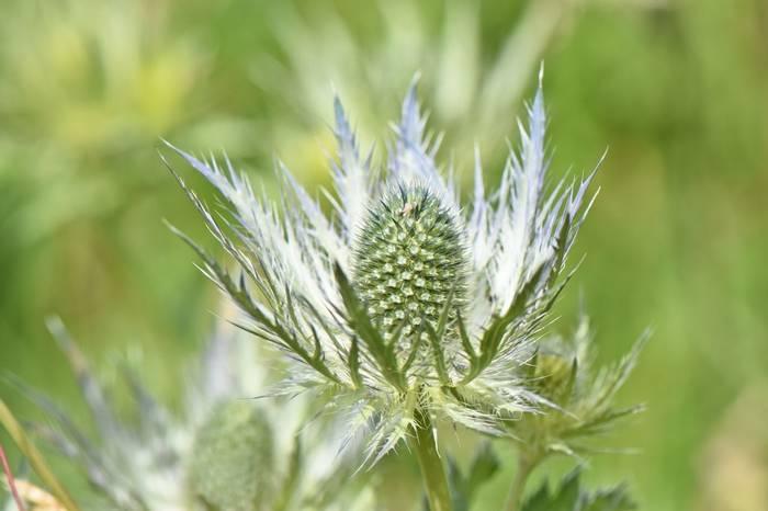 Queen of the Alps (Eryngium alpinum)