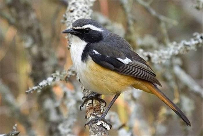 White-throated Robin-chat (Leon Marais)