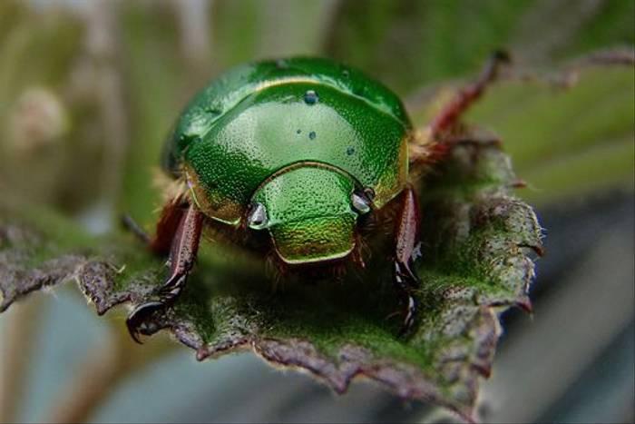 Green Celeopteran (Gordon Rae)