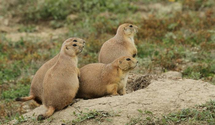 Black-tailed Prairie Dog.jpg