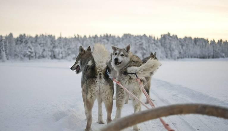 Dreamstime M 12605099 Husky   Sled Dogs