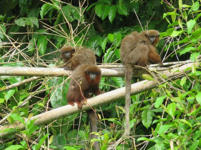 Brown Titi monkeys