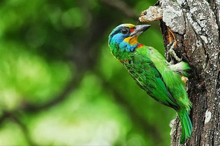 Taiwan Barbet (Richard Foster)