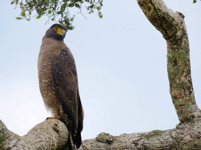 Crested Serpent Eagle (David Hartill)