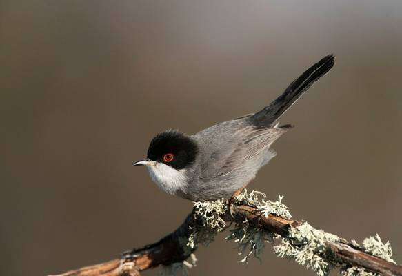 Sardinian Warbler, Spain shutterstock_1454162813.jpg