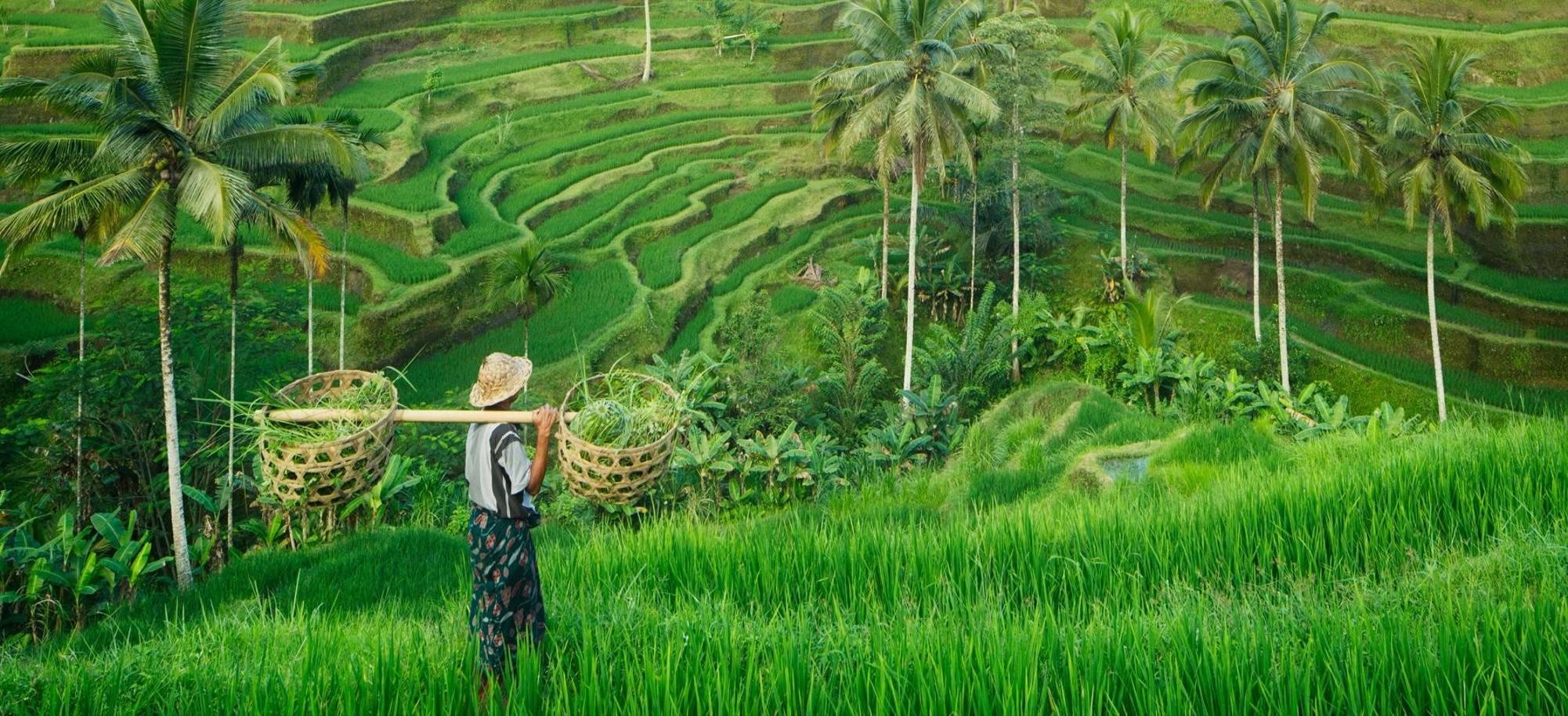 Bali   Ubud Rice Fields   Itinerary Desktop